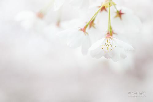 white blur macro oregon portland cherry dawn spring blossom bokeh sakura pdx