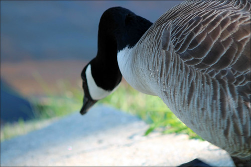 bird nature water animals pond feathers goose johnstonri johnstonwarmemorialpark