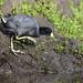 Focha - Fulica americana - American coot