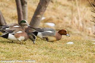 Eurasian Wigeon | by PhotoGuy1951