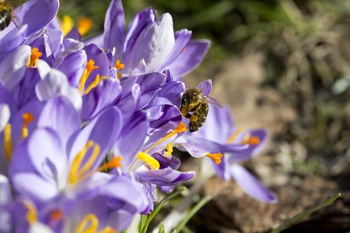 Krokusse mit Bienen - Crocus   by prilfish