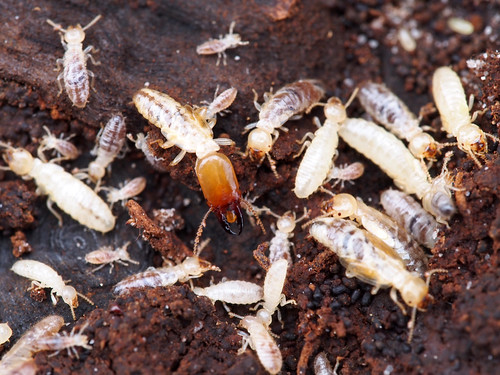 Termite soldier | by antisense