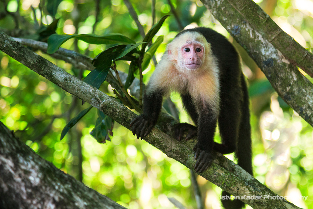 White-faced Capuchin Monkey | Capuchins generally resemble t