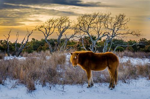 berlin maryland unitedstates assateagueislandns assateagueswildhorse horse ponie viktorposnov wildponie animalinthewild island landscape nature sunset wild wildlife