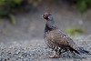 Spruce Grouse by Gregory Lis