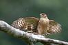 Semicollared Hawk by chlorophonia