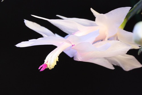 pink white flower macro closeup houseplant blossom christmascactus bloom