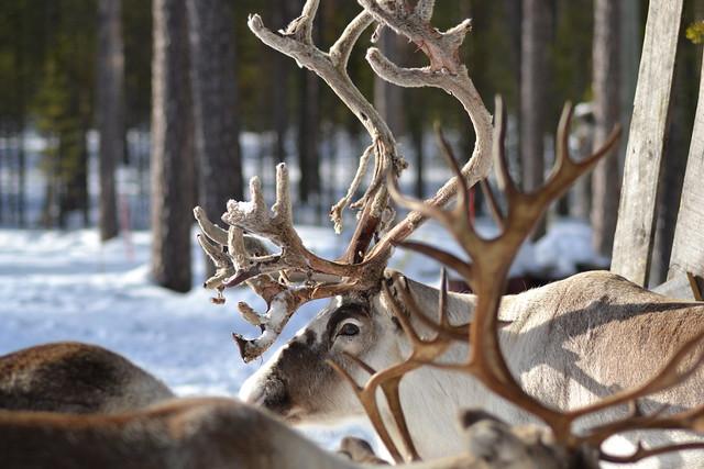 Unos cuantos estupendos renos en Helsinki