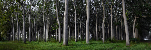 tree farm pano australia panoramic richmond rows plantation nsw d800 brucehood paulowina