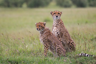 Cheetah - Mother and son