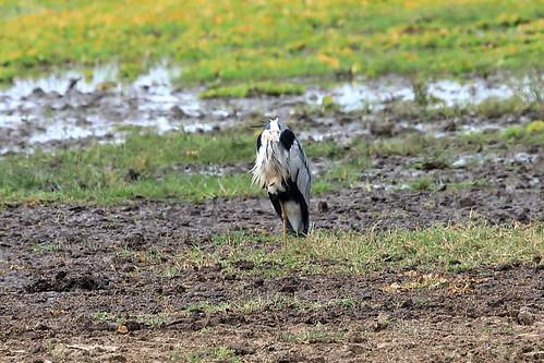 Grey heron   by dmmaus