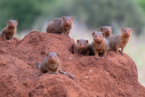 Mongooses | by Laura Jacobsen