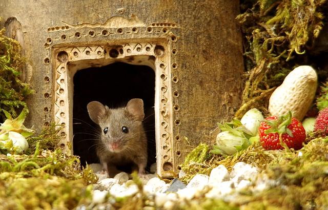 wild garden mouse in a log pile house  (3)