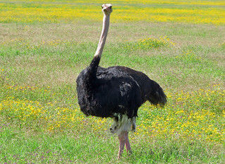 ostrich-wildlife-sighting | by quirkytravelguy