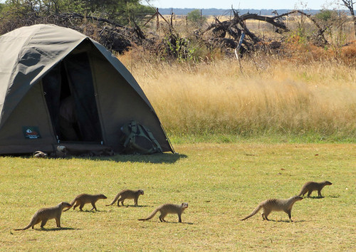 banded-mongoose-campground   by quirkytravelguy