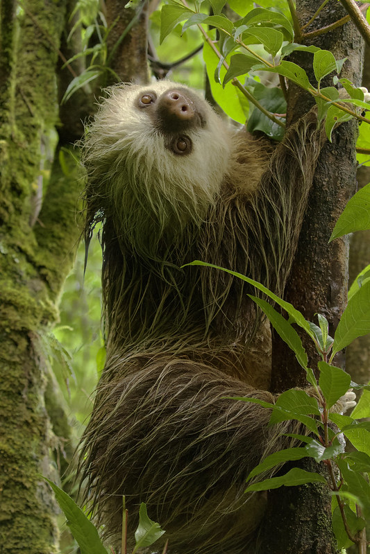 Hoffman's Two-toed Sloth, Choloepus hoffmanni_199A8065