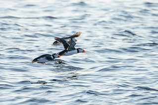 Puffins taking flight