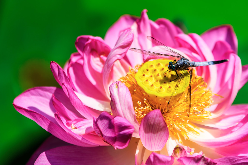 Dragonfly Orthetrum Albistylum On Lotus Flower 蓮にとまるシオ
