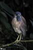 Boat-billed heron , Cochlearius cochlearius by Daniel Mclaren .:. Naturalist Guide CR