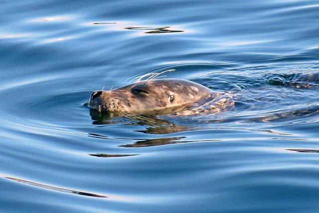Snoozy seal