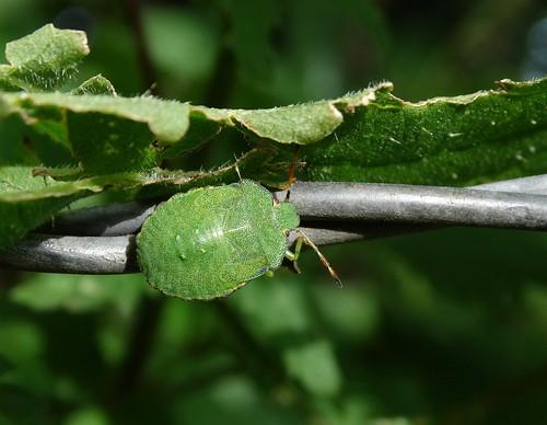palomenaprasina greenshieldbug pentatomidae punaise insect bugonawire hemiptera heteroptera beeston cheshire rockwolf