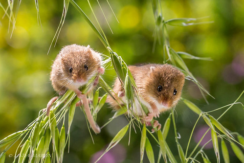 micromysminutus harvestmouse wildlife canon5dmarklll uk nature coth coth5 ngc npc