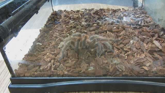 MVI_6319 tarantula spider at Brandon school science night