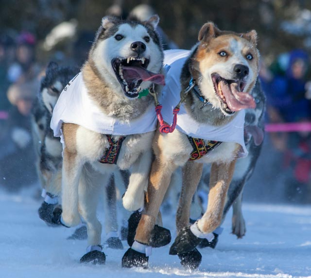 These might be dogs from Scott Janssen's team