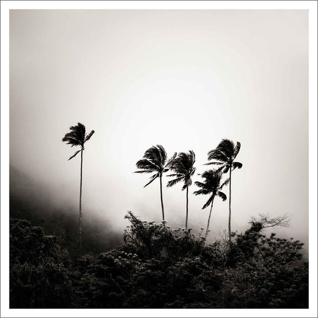 Palms in morning mist