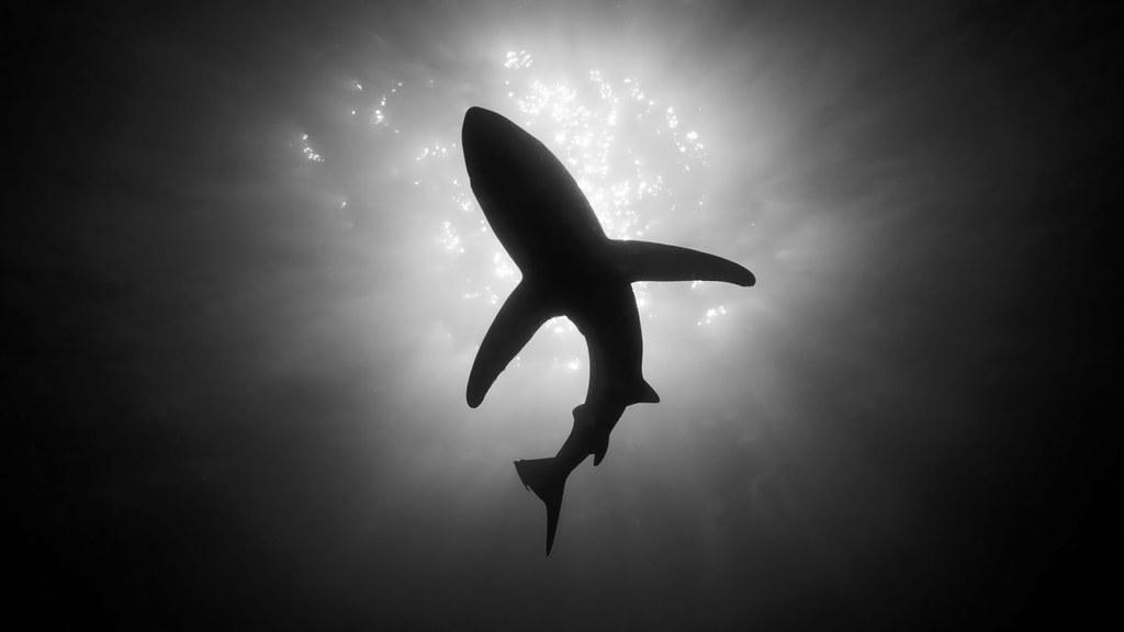 Unduh 8000+ Wallpaper Black Shark Hd  Terbaru