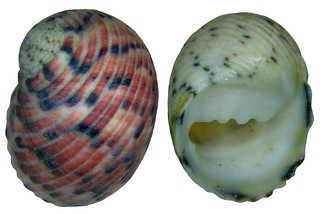 Nerita versicolor Gmelin, 1791