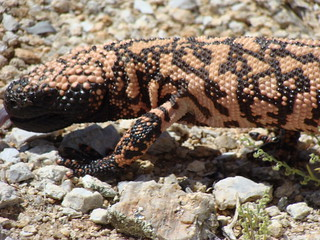 Gila monster | by iagoarchangel