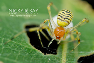 Comb-Footed Spider (Theridion sp.) - DSC_6672