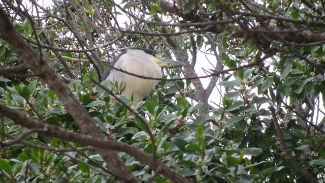 IMG_8039 black crowned night heron carpinteria state beach #123