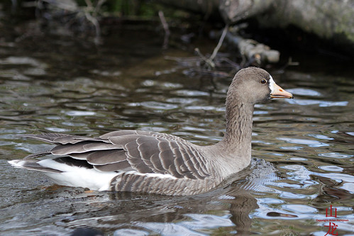 Greater White-fronted Goose (Anser albifrons) | by DragonSpeed