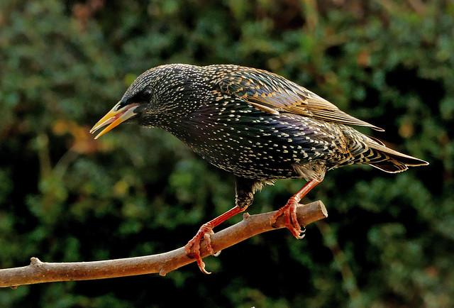 Starling (Sternus vulgaris)