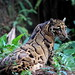 Mainland Clouded Leopard - Photo (c) HO JJ, some rights reserved (CC BY-NC-SA)