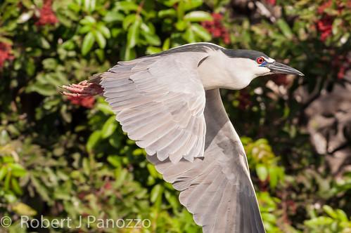 bird heron sanibel sanibelisland rookery blackcrownednightheron nightheron veniceareaaudubonsocietyrookery