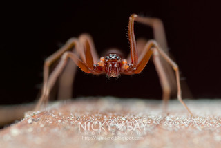 Ant-Like Sac Spider (Teutamus sp.) - DSC_8456 | by nickybay