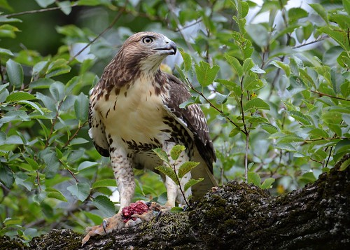 birds birdsofprey raptors hawks redtailedhawk hawkredtailed nikon nikond7100 tamronsp150600mmf563divc jdawildlife johnny newyorkbotanicalgardens rthachipmunkbreakfast whatbirdlunch wow