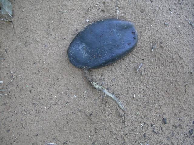 Afzelia quanzensis Welw. (FABACEAE)