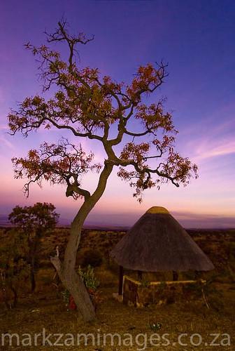 trees kudu faureasaligna kuduprivatenaturereserve kpnr transvaalbeach transvaalboekenhout transfaureasaligna