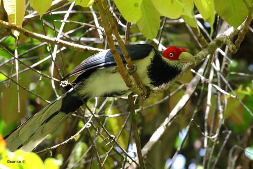 Red-faced Malkoha (Phaenicophaeus pyrrhocephalus) @ Sinharaja Forest Reserve. | by GaurikaW