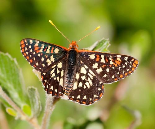 butterfly variablecheckerspot euphydryaschalcedona robsantry