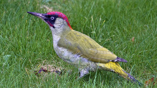 European green woodpecker | by Aardwolf6886