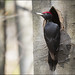 Black Woodpecker - Photo (c) cesare dolzani, some rights reserved (CC BY-NC-SA)