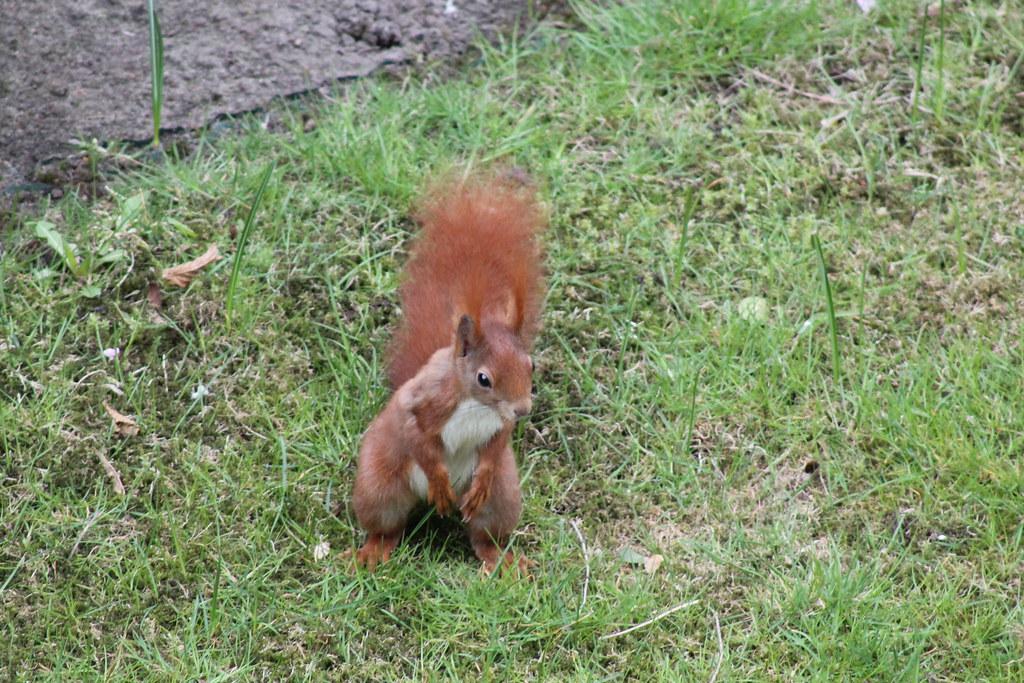 Eichhörnchen Im Garten : eichh rnchen im garten ngid1140110127 ~ Watch28wear.com Haus und Dekorationen