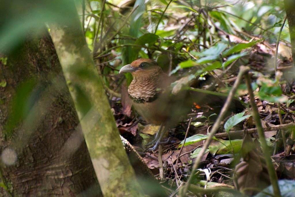Rufous-vented Ground-Cuckoo (Neomorphus geoffroyi), Canopy Adventure, El Valle, Panama