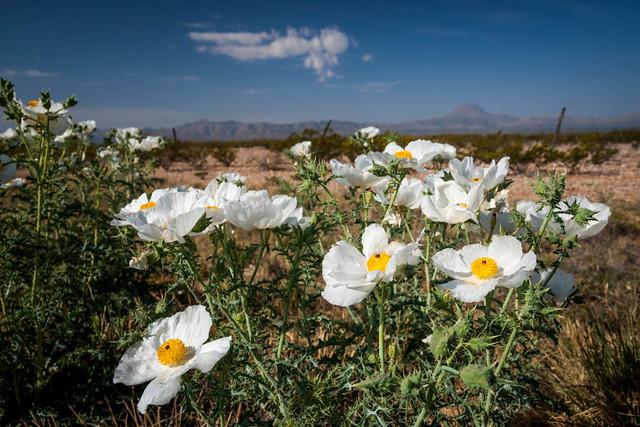 White Prickly Poppies, U.S. 385
