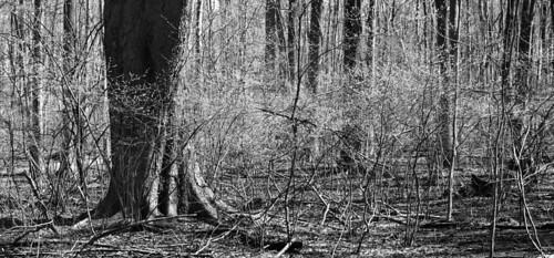 blackandwhite panorama april buddingtrees tinkerpark returnofpersephone